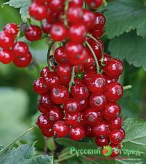 Смородина Осиповская красная