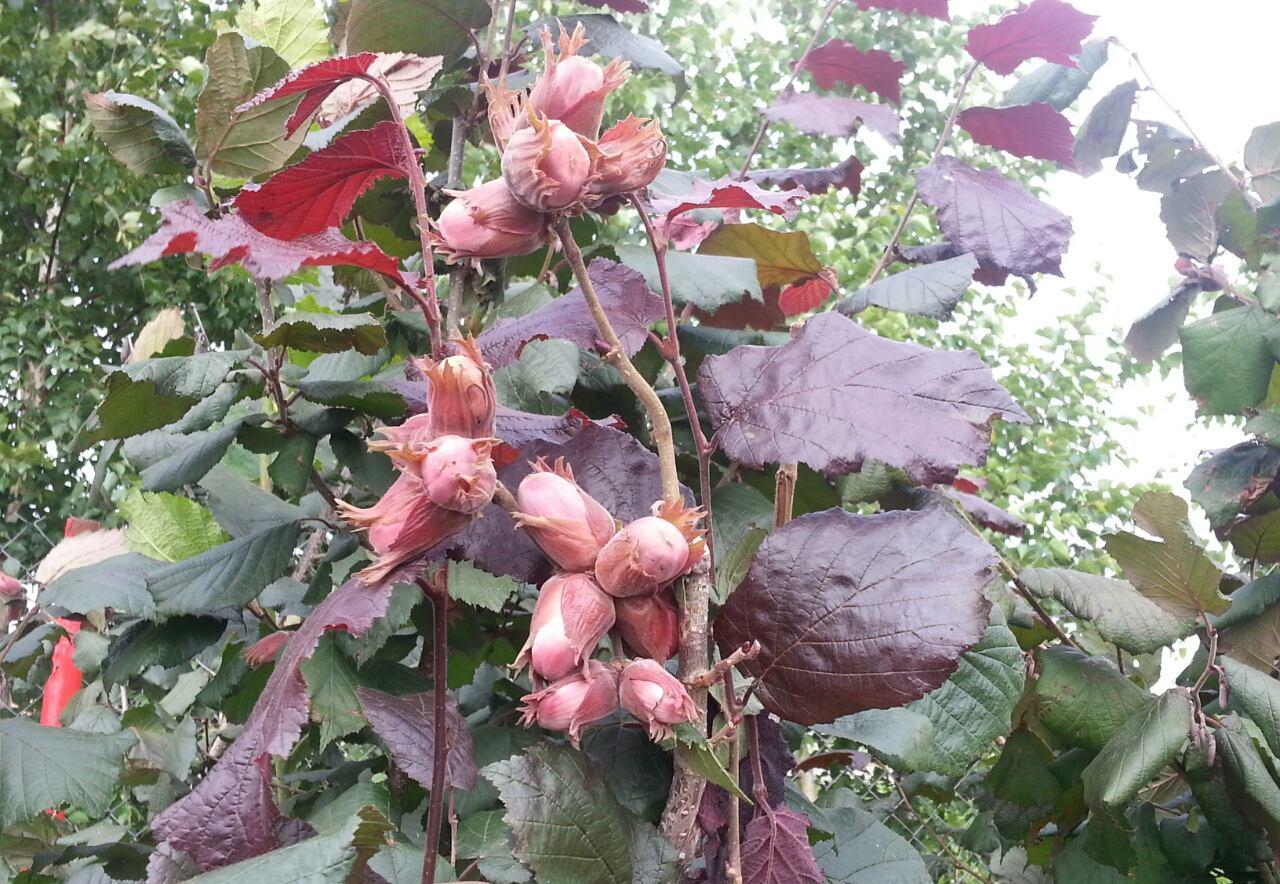Орех фундук в подмосковье выращивание 25