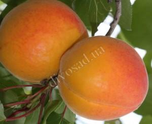 эрли оранж1