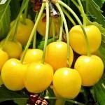 крупноплодная желтая