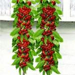 черешня колоновидная рубиновая