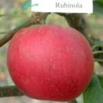рубинола