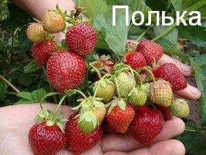 ПОЛЬКА1