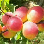 абрикос колоновидный САННИ